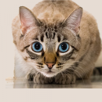 Feline Asthma signs